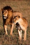 Lions in Private Conservation Area